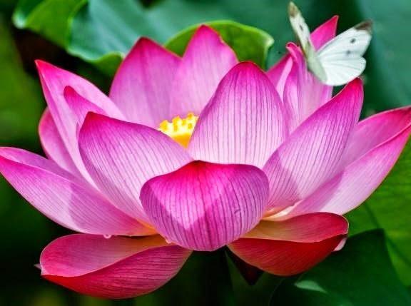 flor-de-lotosignificado-de-colores-flor-sagrada